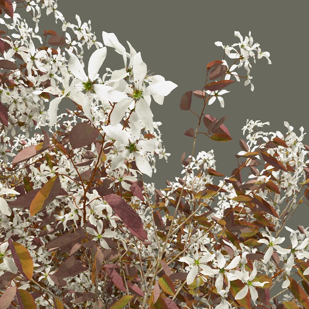 PrunusSerrulataTwig