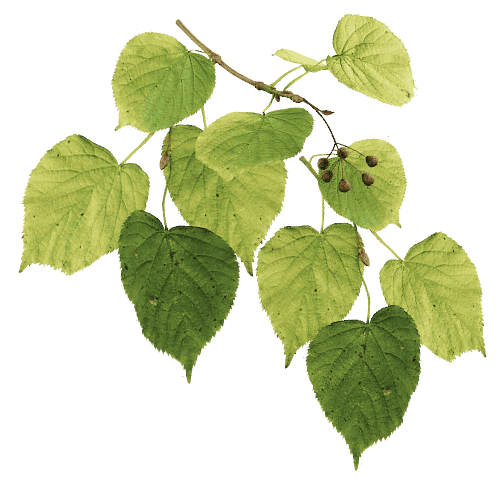 Common Linden – Fall