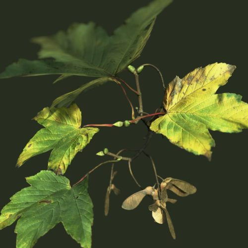 Sycamore Maple Fall