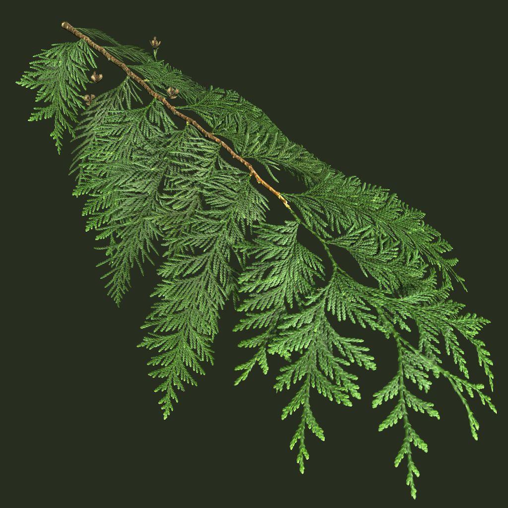 westernredcedartwig