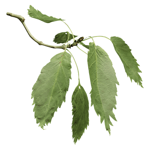 One-leaved Ash