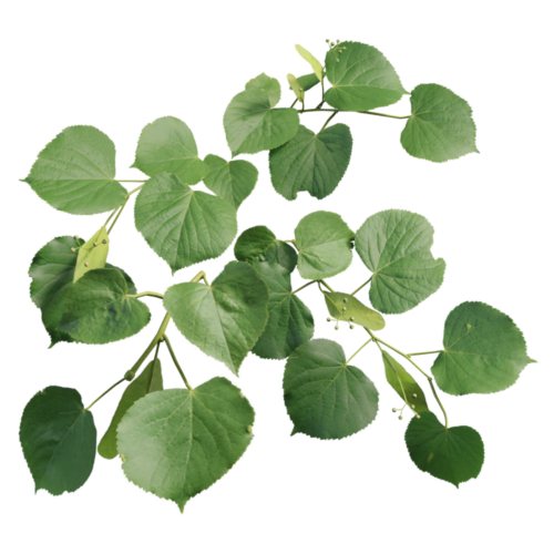 Small-leaved linden